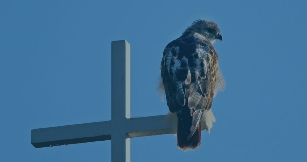 red tailed hawk sitting on wooden white cross, blue sky background