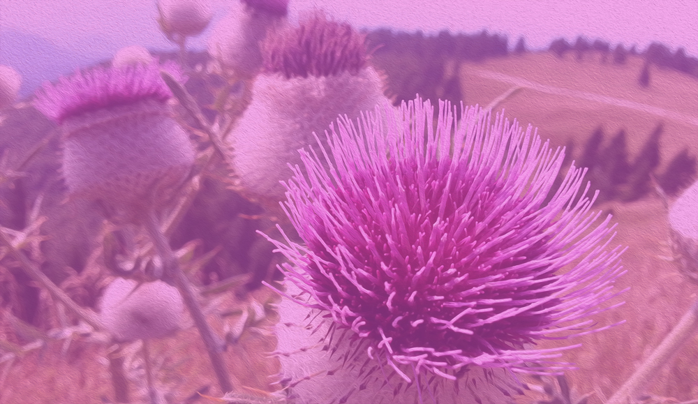 Field of pink thistles