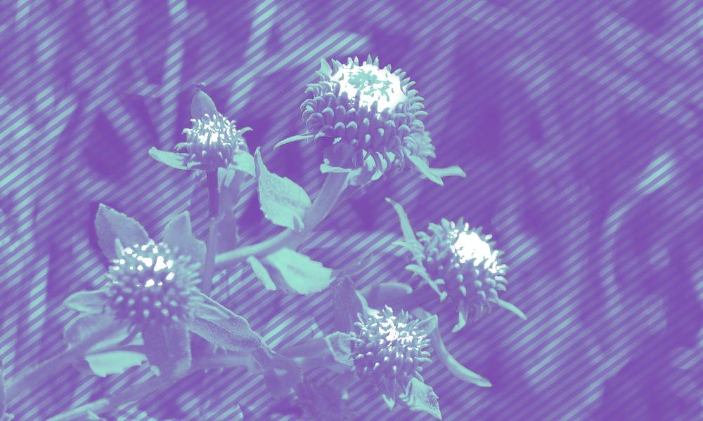 Purple-tinted clovers
