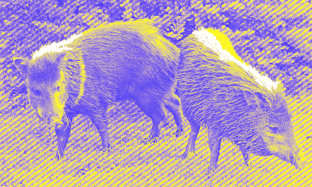 two wild boars grazing, in purple and yellow